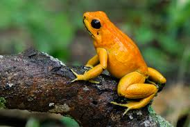 Image result for golden poison dart frog
