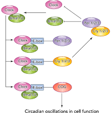 Simplified transcription translation feedback loop of the molecular ...