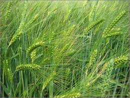 Barley Herb Plants Growing Wild- Brewing Herb Plant- Beer Herb
