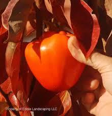 acheter kaki - plaqueminier - diospyros kaki - pépinière du bosc - acheter arbre plant variété hatchiya