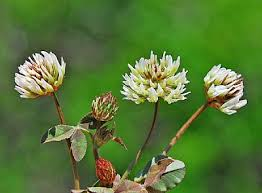 Trifolium physodes | Flora of Cyprus — a dynamic checklist