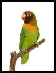 Wim Ducheyne. Wordt in het Nederlands ook Zwartwang-Agapornis genoemd. KENMERKEN: Hun lengte is 12-14 cm. - nigrigenis