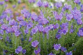 Echium plantagineum - Wikipedia