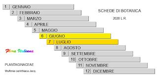 Wulfenia carinthiaca [Wulfenia di Carinzia] - Flora Italiana
