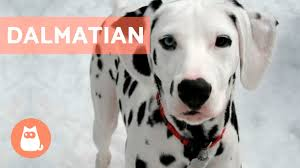 All About the <b>DALMATIAN</b> - Traits and Training! - YouTube