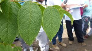 Colombian Walnut