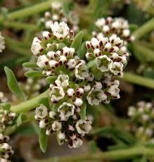 Corrigiola litoralis - Wikipedia