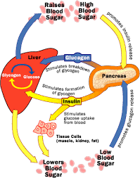 blood glucose and insulin   how diabetes works   howstuffworksinsulin and glucagon have opposite effects on liver and other tissues for controlling blood glucose
