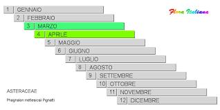 Phagnalon metlesicsii [Scuderi di Metlesics] - Flora Italiana