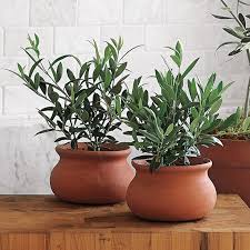 room plants x:  ideas about indoor tree plants on pinterest indoor trees house plants and fig tree