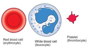 Image result for blood consists of