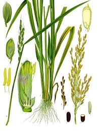 Oryza sativa - Wikipedia