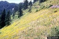 broomleaf toadflax: Linaria genistifolia (Scrophulariales ...