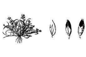 Plants Profile for Coleanthus subtilis (mossgrass)
