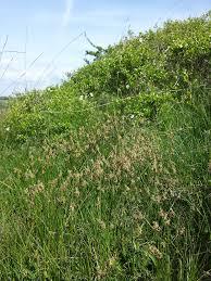 File:Carex praecox sl10.jpg - Wikimedia Commons