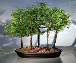 Risultati immagini per ombra bonsai