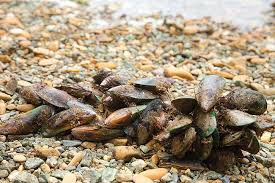 Shedding light on <b>New Zealand green-lipped</b> mussel mortality rate ...
