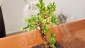 Risultati immagini per innaffiare bonsai