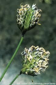 Oreochloa disticha (Wulfen)
