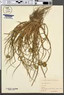 Carex bohemica - SEINet Portal Network