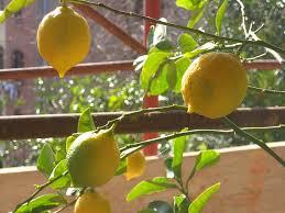 lemon tree x:  lemon no leaves