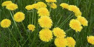 7 Common Weeds you find in Lawns, like <b>Crabgrass</b> and Dandelions