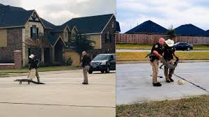 Fort Bend County deputies wrangle <b>gator</b> that 'likes long walks' in ...