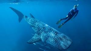 Whale <b>sharks</b>: Atomic tests solve age puzzle of world's largest fish ...