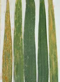 A novel leaf rust resistance gene transferred from Aegilops caudata ...