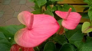 """Résultat de recherche d'images pour """"fleur anthurium rose"""""""