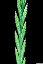 Lolium perenne Calflora