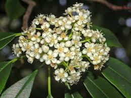 Photinia serrulata (Chinese Photinia, Oriental Photinia) | North ...