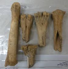 animal bones not just dormice food for thought cattle metapodials from st michael s field in cirencester they show a variety of treatments