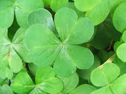 The Odds of Finding a <b>Four</b>-<b>Leaf Clover</b>