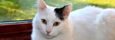 Turkish <b>Van Cat</b> Breed Information | Hill's Pet