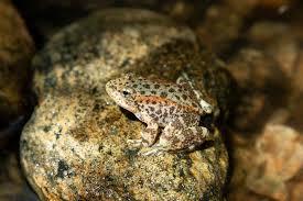 Endangered <b>baby</b> frogs bred in zoo find <b>new life</b> in San Bernardino ...