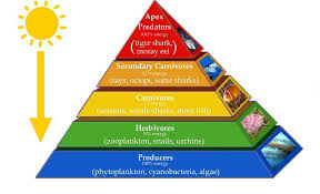 major types of ecological pyramids   pyramid of number  biomass    pyramid of energy