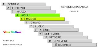 Trifolium maritimum [Trifoglio marittimo] - Flora Italiana