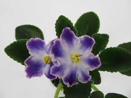 Сортовые Фиалки (Сенполии) - Мир растений