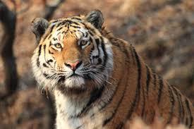 Сохранение редких видов: амурский <b>тигр</b> | Русское ...
