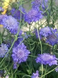 Scabiosa Butterfly Blue -- Bluestone Perennials