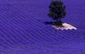 Image result for lavender field