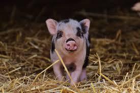 12 Things to know before adopting a mini <b>pig</b> | BC SPCA