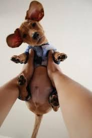 A cute doxie baby <b>boy</b>   Pups.   Pinterest   <b>Таксы</b>, <b>Такса</b> и Собаки