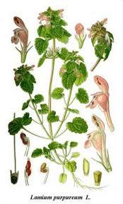 Lamium purpureum Red Dead Nettle, Purple deadnettle PFAF Plant ...