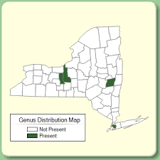 Kickxia - New York Flora Atlas - University of South Florida