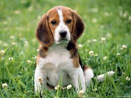 Image result for begle puppy picture