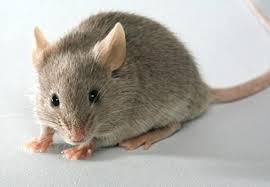 Résultats de recherche d'images pour «souris photo»