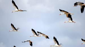 """Résultat de recherche d'images pour """"oiseaux migrateur troyes"""""""