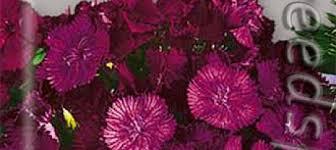 <b>Гвоздика турецкая Фиолетовая</b> гора, 0,25 г ‒ купить с доставкой ...